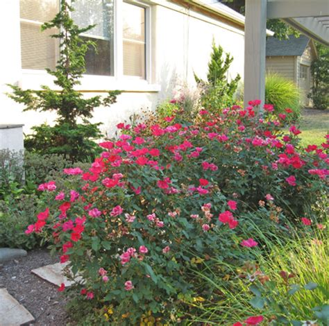 Landscape Pictures With Knockout Roses Backyard Landscaping With Knockout Roses Home Dignity