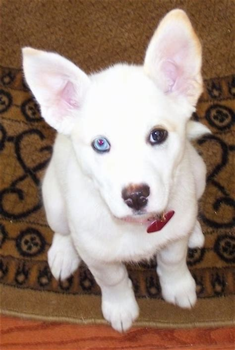 husky and pitbull mix puppies pitsky breed information and pictures