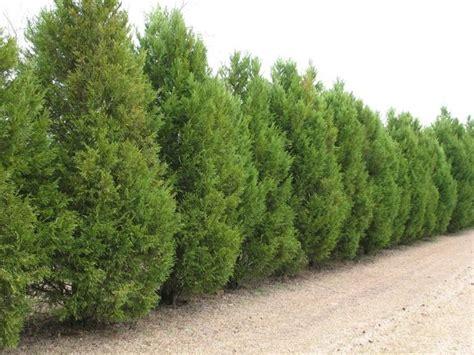 costo siepi da giardino piante da siepe prezzi siepi costo delle piante da siepe