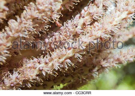track west palm flowering nikau palms in flower new zealand palm with flowers stock photo