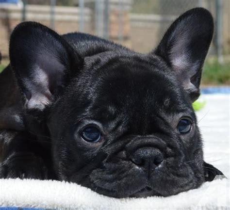 adoption sacramento ca amazing akc bulldog females for adoption for sale in sacramento california
