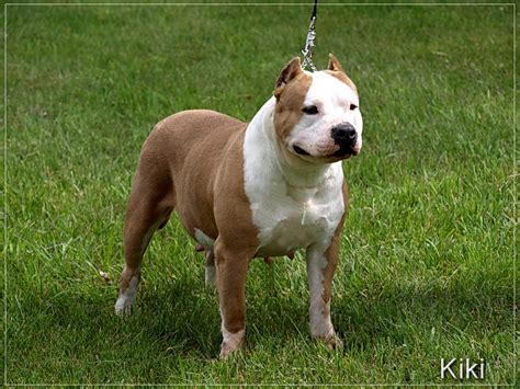 Pictures Of Pits White Pitbulls