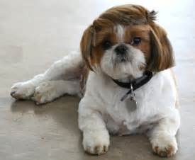 pictures of shih tzu haircuts shih tzu hair cut