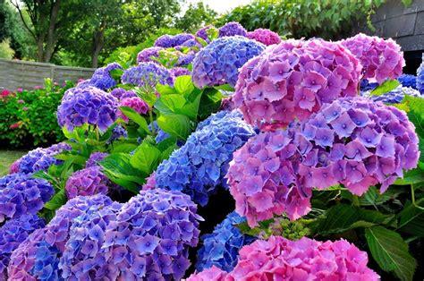 Hortensien Pflanzen Und Pflegen 4462 by Bauernhortensie Pflanzen D 252 Ngen Und Schneiden