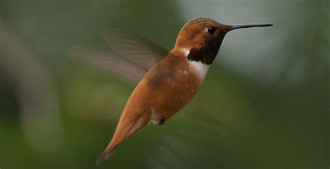 how hummingbirds generate courtship sounds biology sci