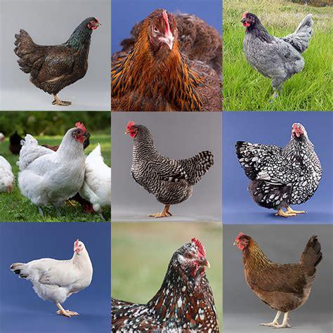 gabbie per galline gabbie per galline ovaiole felici spedizione rapida e