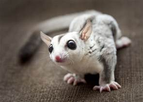 sugar glider colors socrates the sugar glider 4 month white