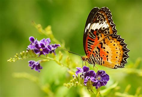 Flower Garden With Butterflies 15 Spectacular Butterfly On Flower Images Hd Morewallpapers