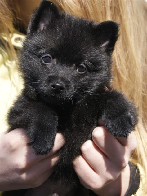 small black puppy small black breeds breeds puppy pictures and poodle