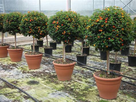 alberelli in vaso alberi in vaso da esterno 75 msyte idee e foto di