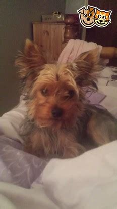 10 month yorkie 10 month yorkie for sale petersfield hshire pets4homes