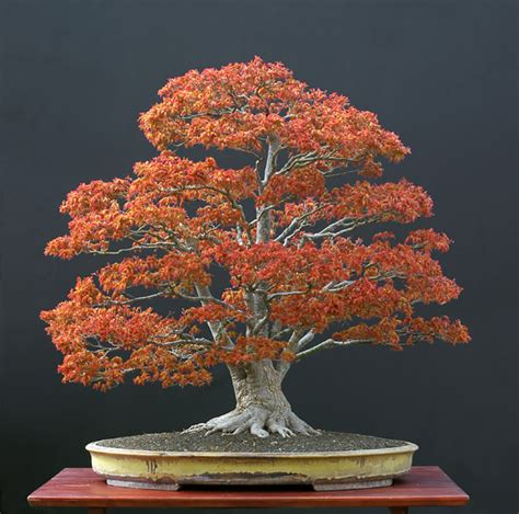 bonsai with japanese maples the art of bonsai project feature gallery nursery stock bonsai