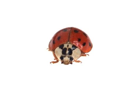 how to get rid of ladybugs in the house category archive for quot how to s quick tips quot bob vila