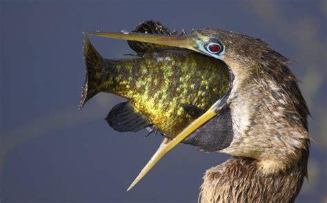 bird eating huge fish funny animal club