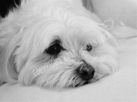 black maltese puppies maltese puppies black images