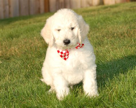 mini goldendoodles oregon mini goldendoodle puppies portland oregon
