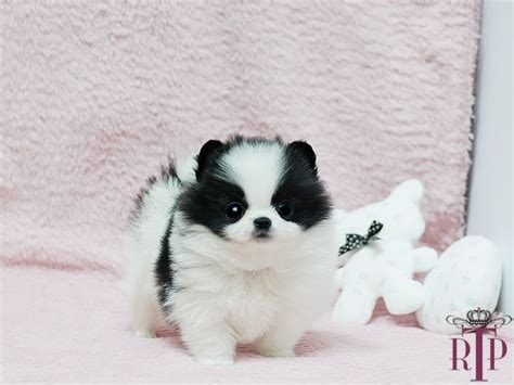 black and white teacup pomeranian 141 best images about teacup pomeranian puppies for sale on