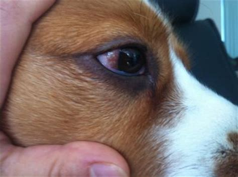 puppy eye infection recurring eye infection