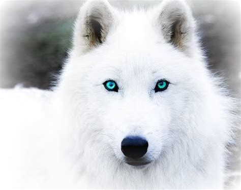 wolf husky puppies with blue eyes pictures of black wolves with blue eyes arctic wolf
