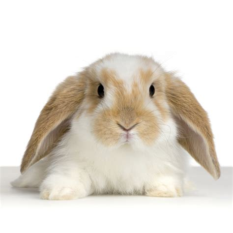 valentine special holland lop rabbit that will win her heart usa rabbit breeders