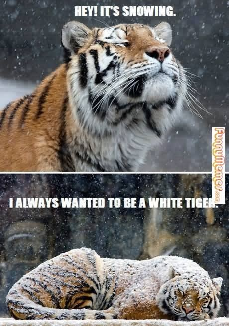 Tiger Memes - 40 most funniest tiger meme images and pictures