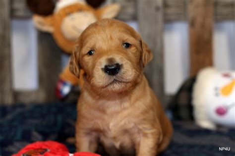 goldendoodle puppies for sale in oklahoma puppies for sale puggle yorkie goldendoodle labradoodle