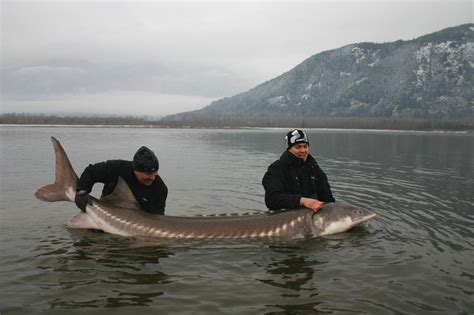 Records In Canada Big Fishes Of The World Sturgeon White A Transmontanus