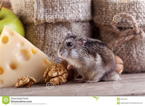 Mouse In Pantry by Rodent Heaven Hamster Or Mouse In The Pantry Stock Image
