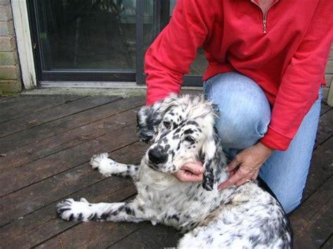 dalmatian golden retriever mix golden retriever dalmatian mix interesting stuff golden retriever