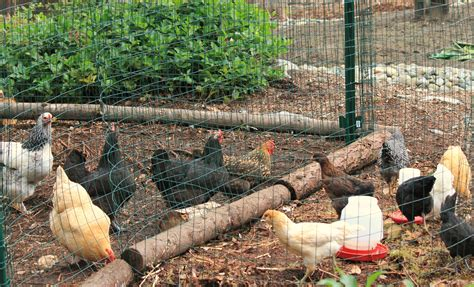 backyard flock guide for introducing new chicks with older flock the