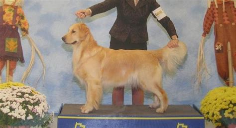 golden retriever breeder melbourne golden retriever breeder melbourne photo