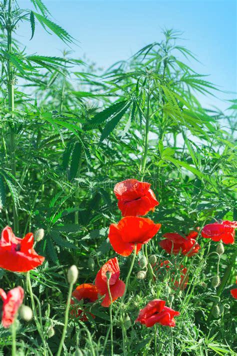 fiori di marjuana fiori papavero e cannabis marijuana immagine