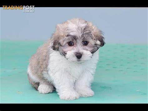 shih tzu puppies for sale nz zuchon bichon frise x shih tzu puppies for sale in hoppers crossing vic zuchon