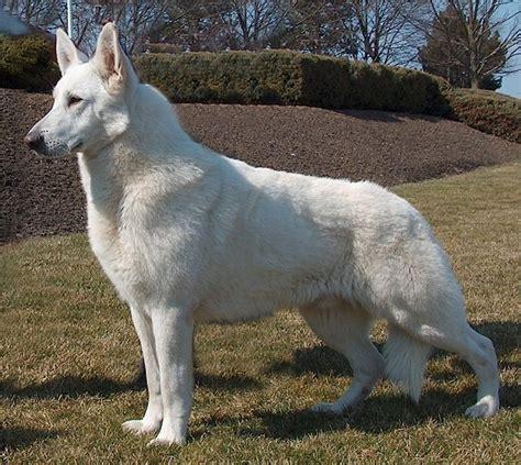 american white shepherd puppies american white shepherds american whites breeds picture