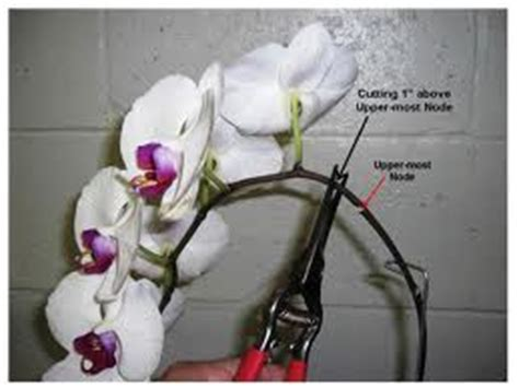 orchid pruning