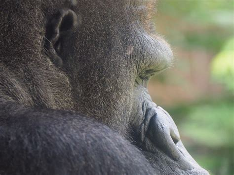 Eastern Lowland Gorilla - Gorilla Facts and Information
