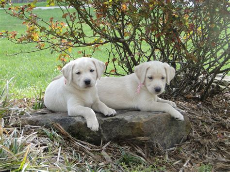 labrador puppies indiana silver s labs labrador retriever breeder vincennes indiana