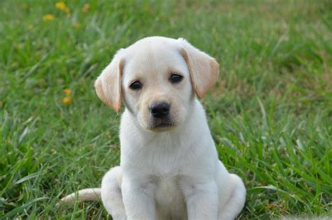 puppies for sale in tulsa yellow labrador puppies tulsa dogs our friends photo
