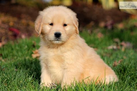 newborn golden retriever for sale golden retriever puppies for sale pictures of litle pups