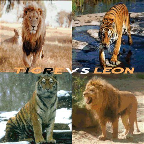 imagenes de tigres y leones juntos leones y tigres informaci 243 n y cuadros comparativos