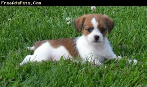 rat terrier shih tzu mix rat terrier shih tzu mix shorkie tzu yorkie mix
