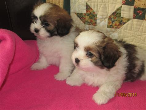 papillon shih tzu shih tzu cross papillon swindon wiltshire pets4homes
