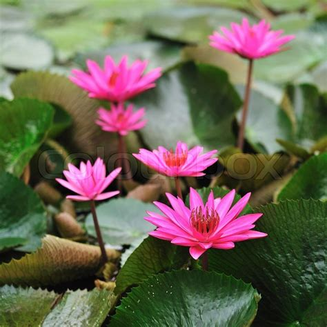 lotus flower thailand mauve lotus flower blooming in the pond the lotus is