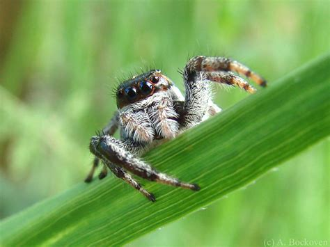 Spiders In Jumping Spiders 6legs2many