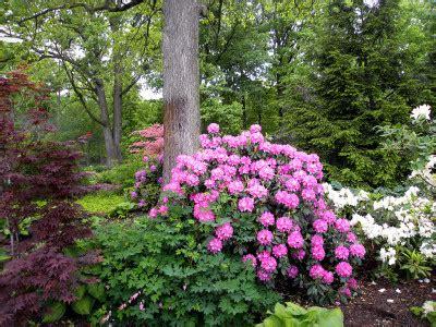 Design My Yard elegance amp beauty rhododendron amp azalea smalls