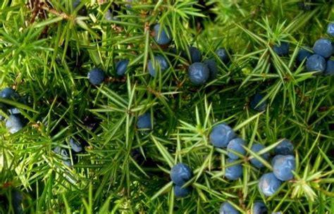 ginepro in cucina piante officinali ginepro propriet 224 terapeutiche e usi