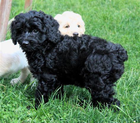 dane doodle puppies for sale dane doodle breeders breeds picture