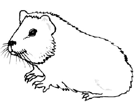 guinea pig coloring pages guinea pig coloring pages coloringpages1001