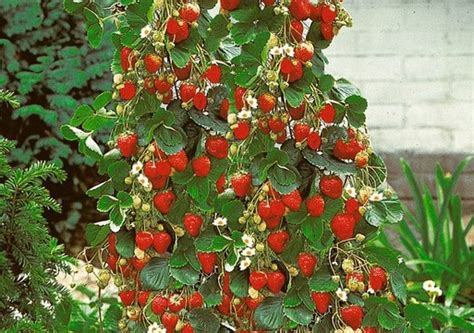 climbing strawberry plants power plant seed reviews shopping reviews on