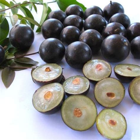 jual pohon anggur brazil sabara berbuah agro bibit id